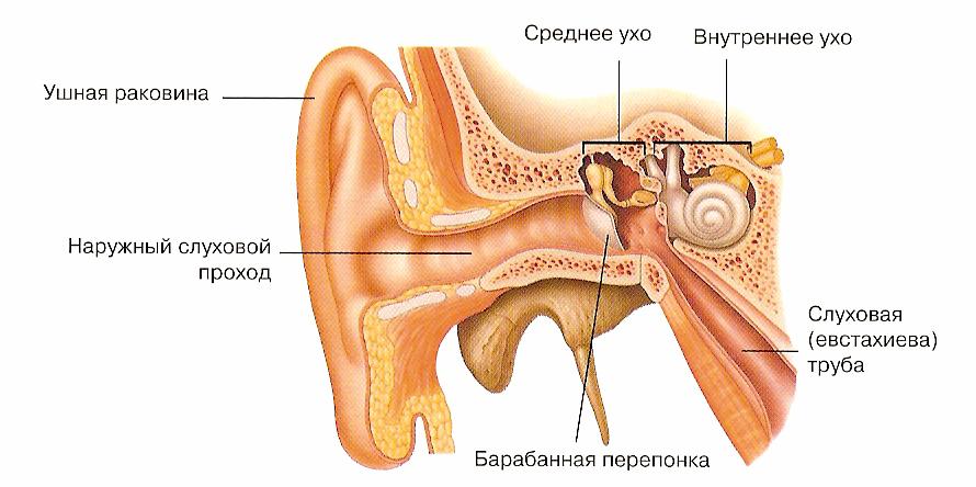 Орган слуха человека, его строение и функции